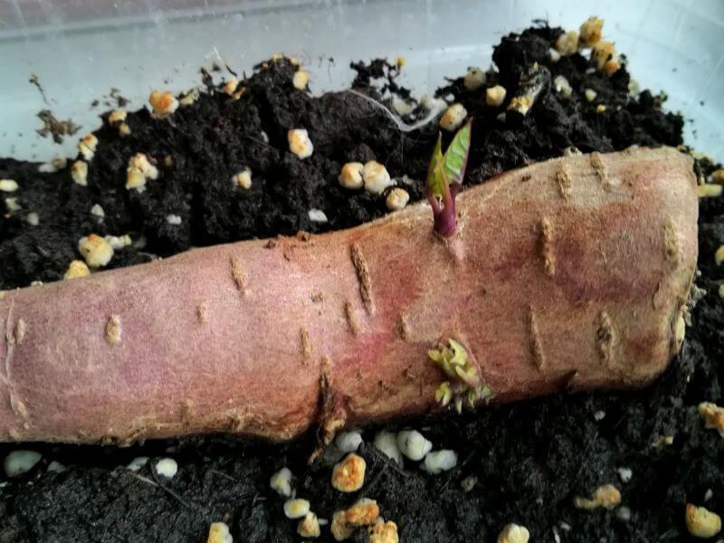 Silpnesni ar pažeisti batatai guldomi į substratą. Nuotr. E. Mačiulaitienė