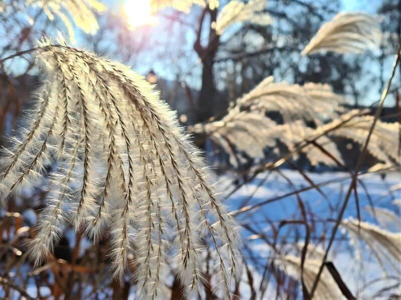 Purios miskantų šluotelės pasirodo antroje metų pusėje ir išsilaiko žiemos metu. Nuotr. V. Marozienė