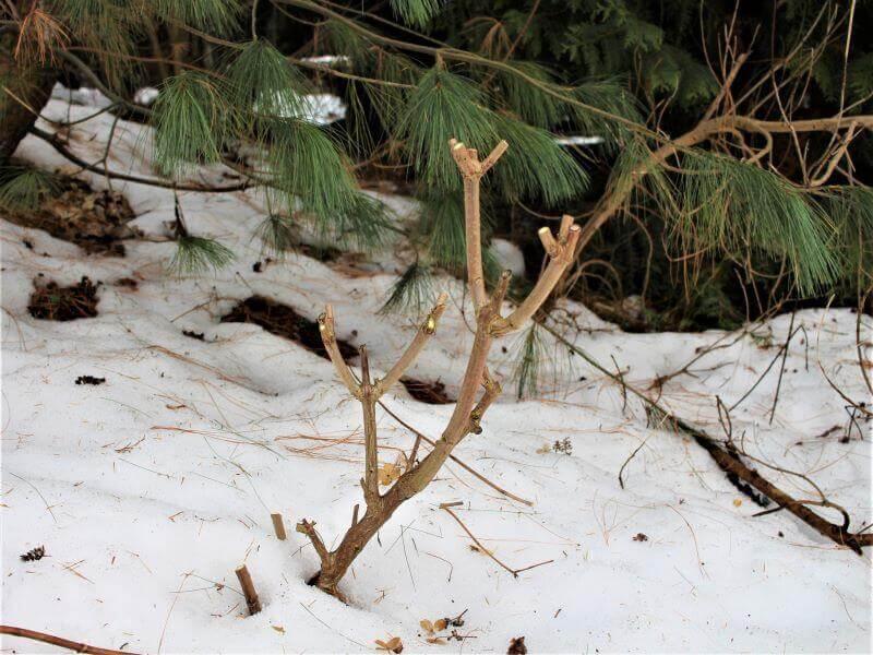 Stipriai apgenėtas šluotelinės hortenzijos krūmas ateinantį sezoną atgims nauja jėga. Nuotr. L. Liubertaitė