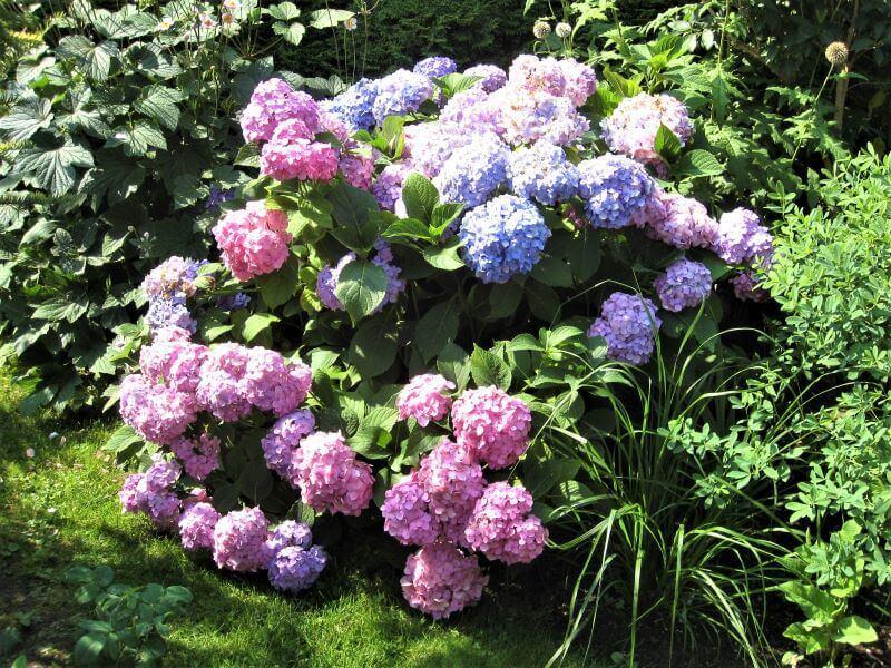 Didžialapes hortenzijas reikia genėti kitaip nei šluotelines. Nuotr. L. Liubertaitė