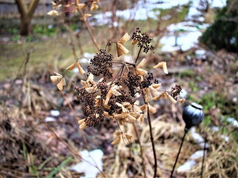 Šluotelinės hortenzijos dekoratyvios išlieka per visą žiemą. Nuotr. L. Liubertaitė