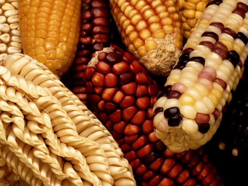 Norint sėkmingai užsiauginti įvairių kukurūzų, reikia žinoti kelias gudrybes.