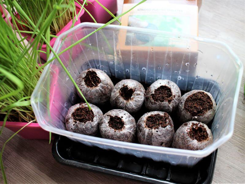 Išbrinkusios kokosų plaušo tabletės. Nuotr. L. Liubertaitė