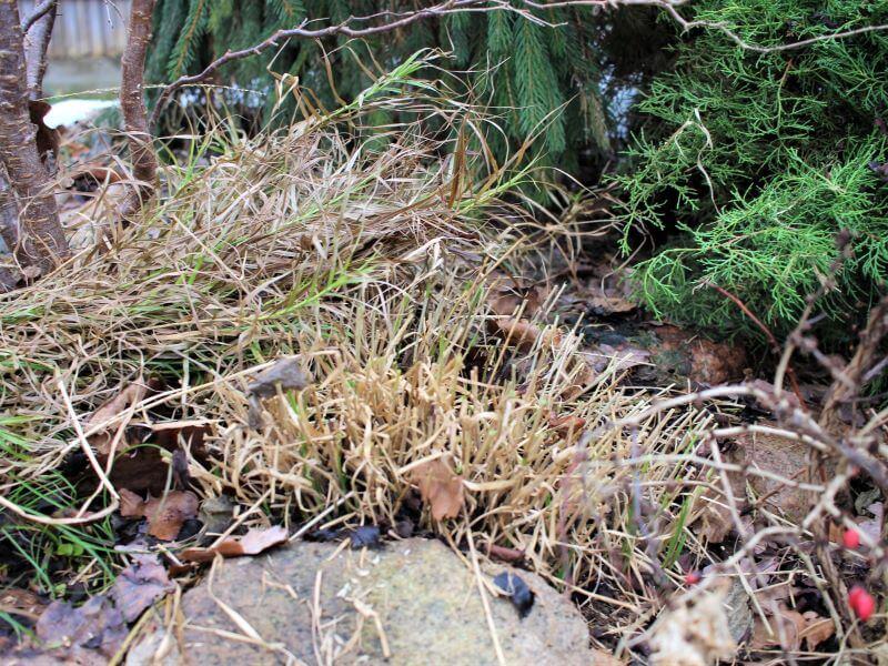 Nukirpta ir jau žalius ūglius leidžianti palminė viksva (Carex muskingumensis). Nuotr. L. Liubertaitė
