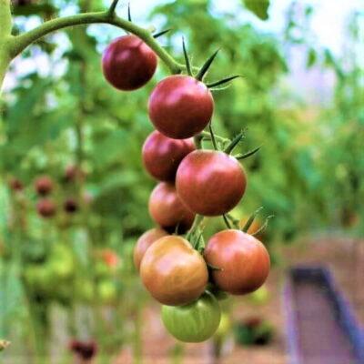 Populiariausios pomidorų veislės: sąrašas pradedantiesiems
