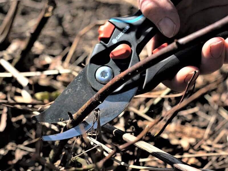 """Labai svarbu genėti kokybiškais įrankiais. Aš naudoju """"Gardenos"""" sekatorių. Nuotr. L. Liubertaitė"""