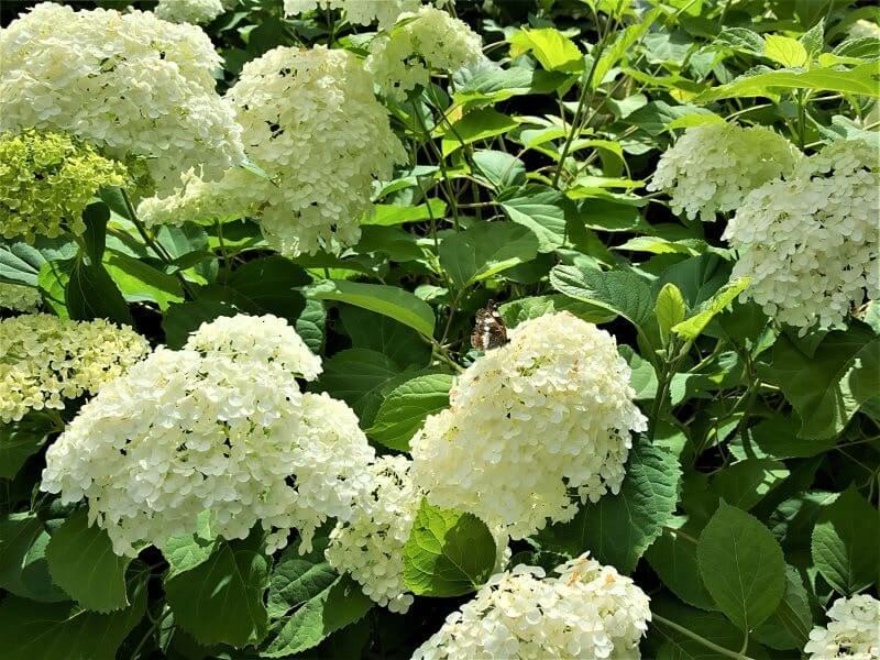 Šviesioji hortenzija. Nuotr. L. Liubertaitė