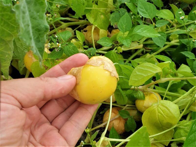 Geltonas tomatilas. Nuotr. E. Mikolaitytė