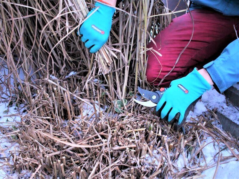 Varpinių augalų priežiūra pavasarį – pašalinama nunykusi antžeminė augalų dalis. Nuotr. L. Liubertaitė