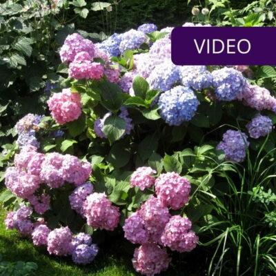 Hortenzijų genėjimas: instrukcija, kada ir kaip genėti
