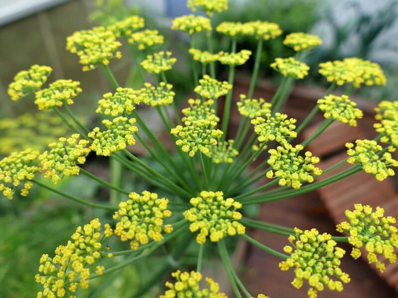 Gražūs pankolio žiedai brandina aromatingas sėklas ir dar puošia jūsų daržą. Nuotr. iš Pixabay.com