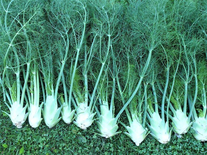 Įspūdingas pankolių derlius. Nuotr. E. Mikolaitytė