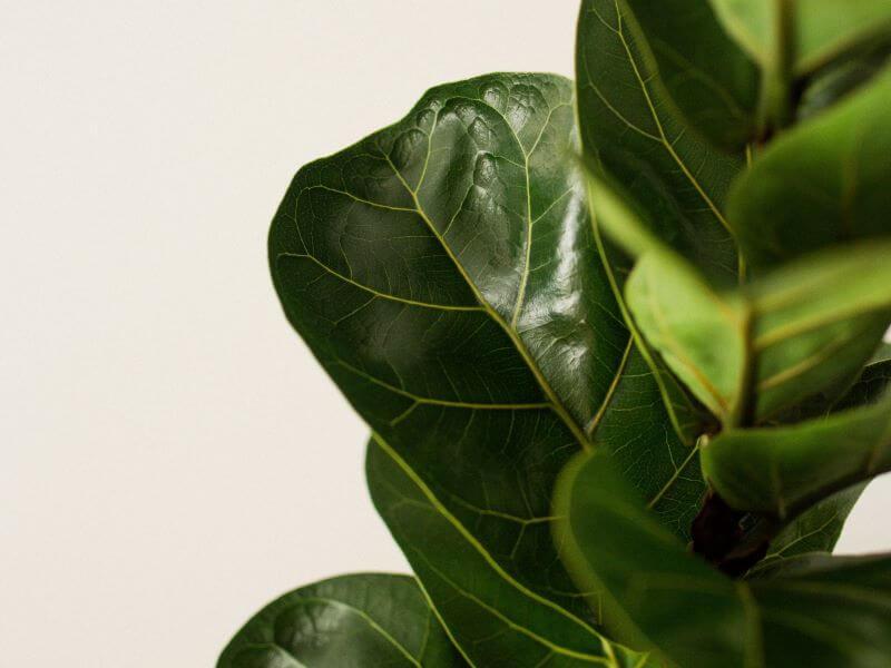 Kad augalo lapai taip blizgėtų, švelniai nuvalykite juos vidine banano žievės puse. Nuotr. iš Pexels.com