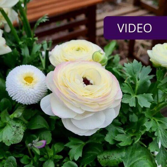 Pavasarinės gėlės vazonuose