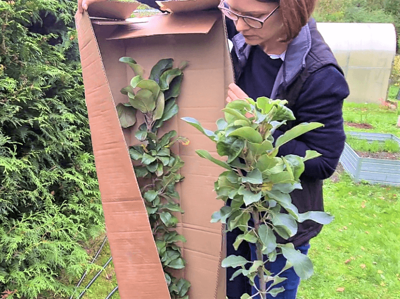 Vaismedžiai iš medelyno tadoukis.lt atkeliauja tvarkingai ir saugiai supakuoti į kartonines dėžes. Nuotr. L. Liubertaitė