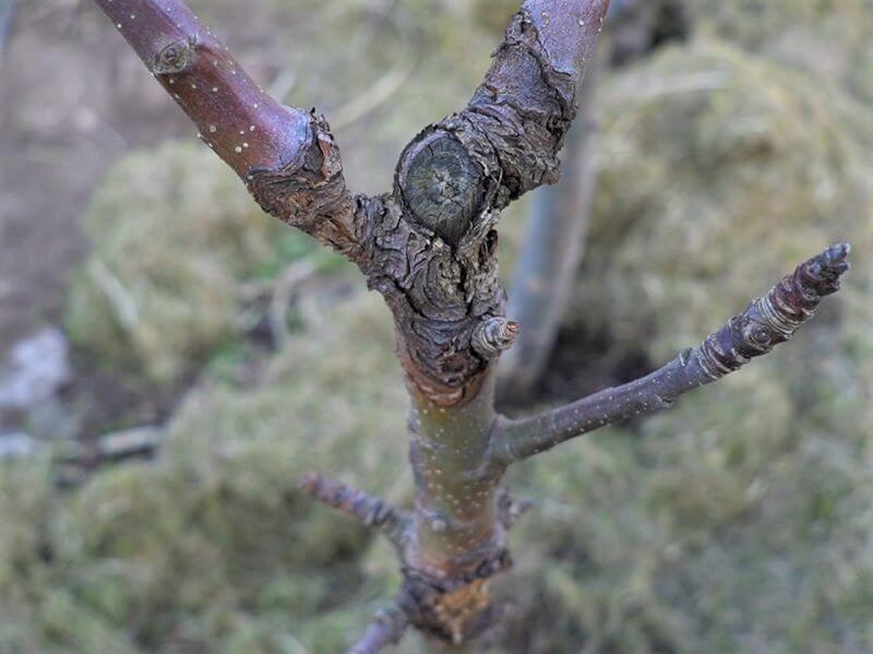 Vėžio pažeista koloninė obelis. Nuotr. L. Liubertaitė