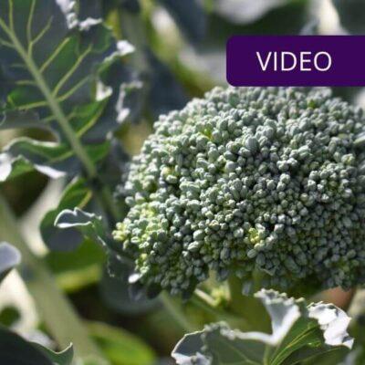 Brokolių auginimas nuo sėklų – išbandykite patys!