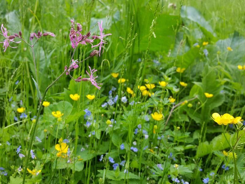Gėlių įvairovė mano sodybos pievoje. Nuotr. L. Liubertaitė