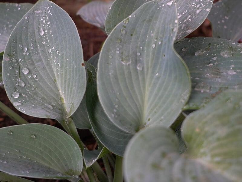 Dėl tankaus užsodinimo ir didelių lapų vanduo sunkiau pasiekia dirvožemį. Nuotr. L. Liubertaitė