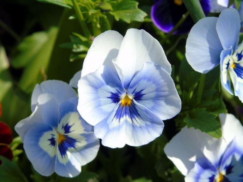 Natūraliai gamtoje sutinkamos našlaitės (lot. Viola) tarpukariu išpopuliarėjo ir gėlynuose. Tiesa, įdomesnės veislės atkeliaudavo ir iš svečių šalių. Nuotr. L. Liubertaitė
