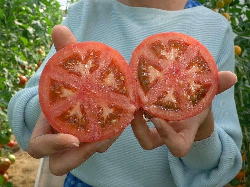 Skiepyti pomidorai 'Manistella F1'. Nuotr. Lina Liubertaitė