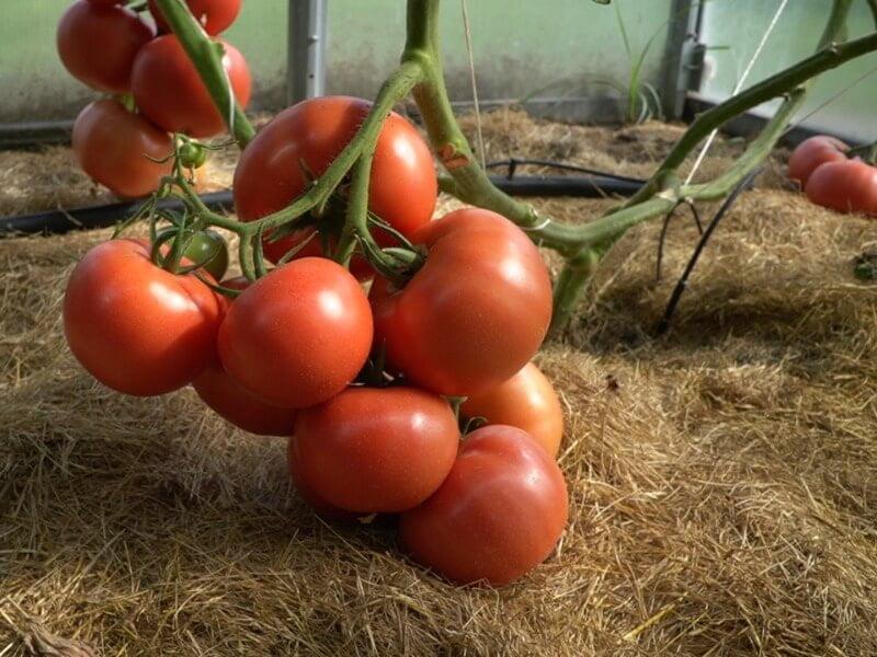 Stipri skiepytų pomidorų šaknų sistema leidžia krūmą auginti net keturiais stiebais. Nuotr. Lina Liubertaitė