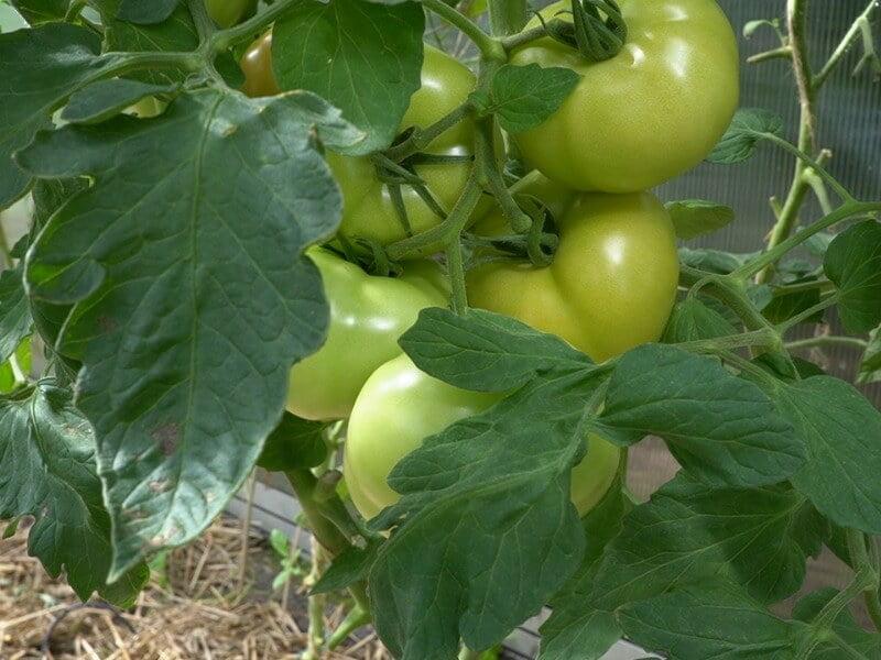 FOTO 'Paberžės raudonieji' — viena labiausiai man pasiteisinusių pomidorų veislių šiais metais. Nuotr. Lina Liubertaitė