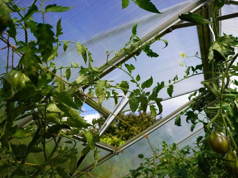 Automatiškai atsidarantys langai palengvina pomidorų priežiūrą. Nuotr. Lina Liubertaitė