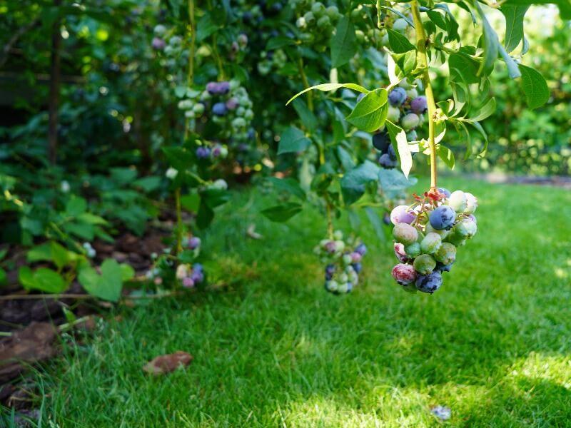 Geriausi kiemo augalai — šilauogė šiame sąraše privaloma, juk kaip skanu! Nuotr. Lina Liubertaitė
