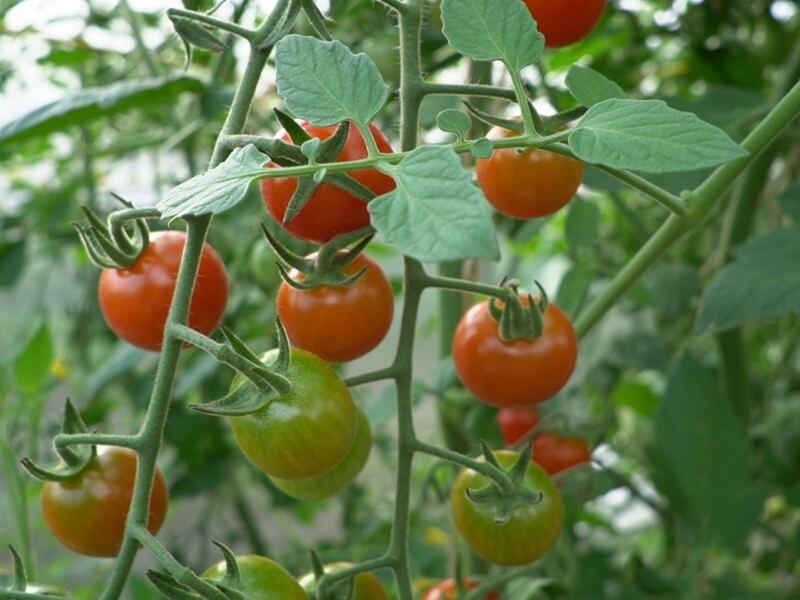 'Sungold F' pomidoriukai. Nuotr. Lina Liubertaitė