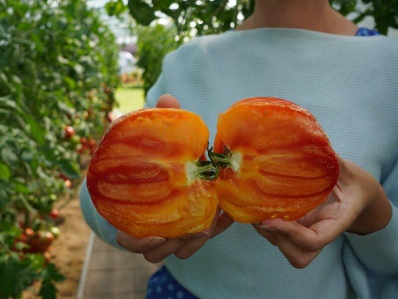 Išskirtinės išvaizdos ir skonio skiepyti pomidorai 'Gourman Sun F1'. Nuotr. Lina Liubertaitė