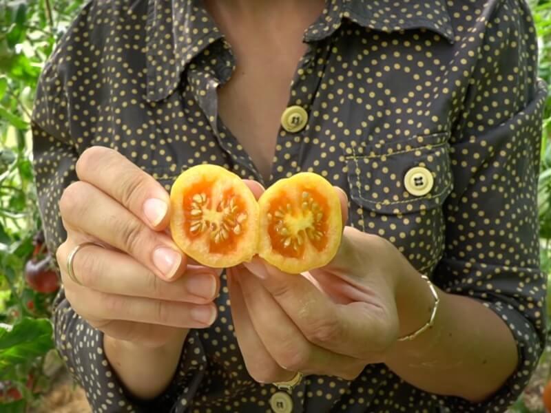 Praeitų metų 'Ponderosa' pomidoras vis dar valgomas. 2021-ųjų metų derlius rugpjūtį dar neprisirpęs. Nuotr. Lina Liubertaitė