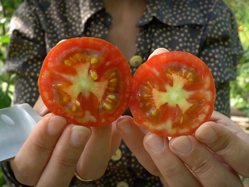 Dryžuotieji 'Tigerella' vaisių davė daug, bet neatlaikė ir dėmėtligės išpuolio. Nuotr. Lina Liubertaitė