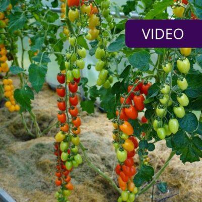 Skiepyti pomidorai — kas tai ir kuo jie ypatingi