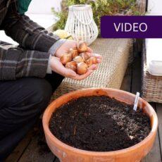 Tulpių sodinimas vazone viršelis